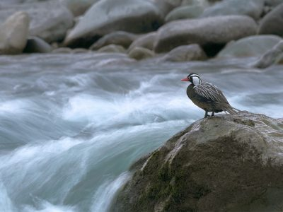 Pato cortacorrientes en el Ñuble de hoy (foto de Bastián Gygli)